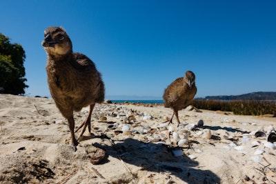 Weka chicks striding towards the camera