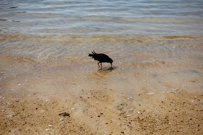 A black Oyster Catcher with an orange bill feeds in shallow waters on a golden beach