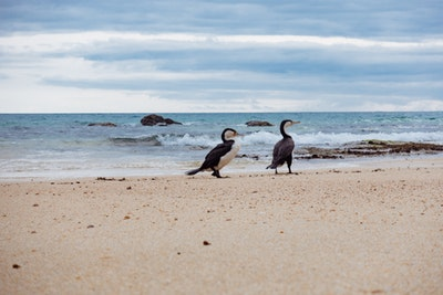 Two Pied Shags on a golden-white beach