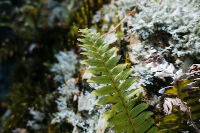 A growing fern