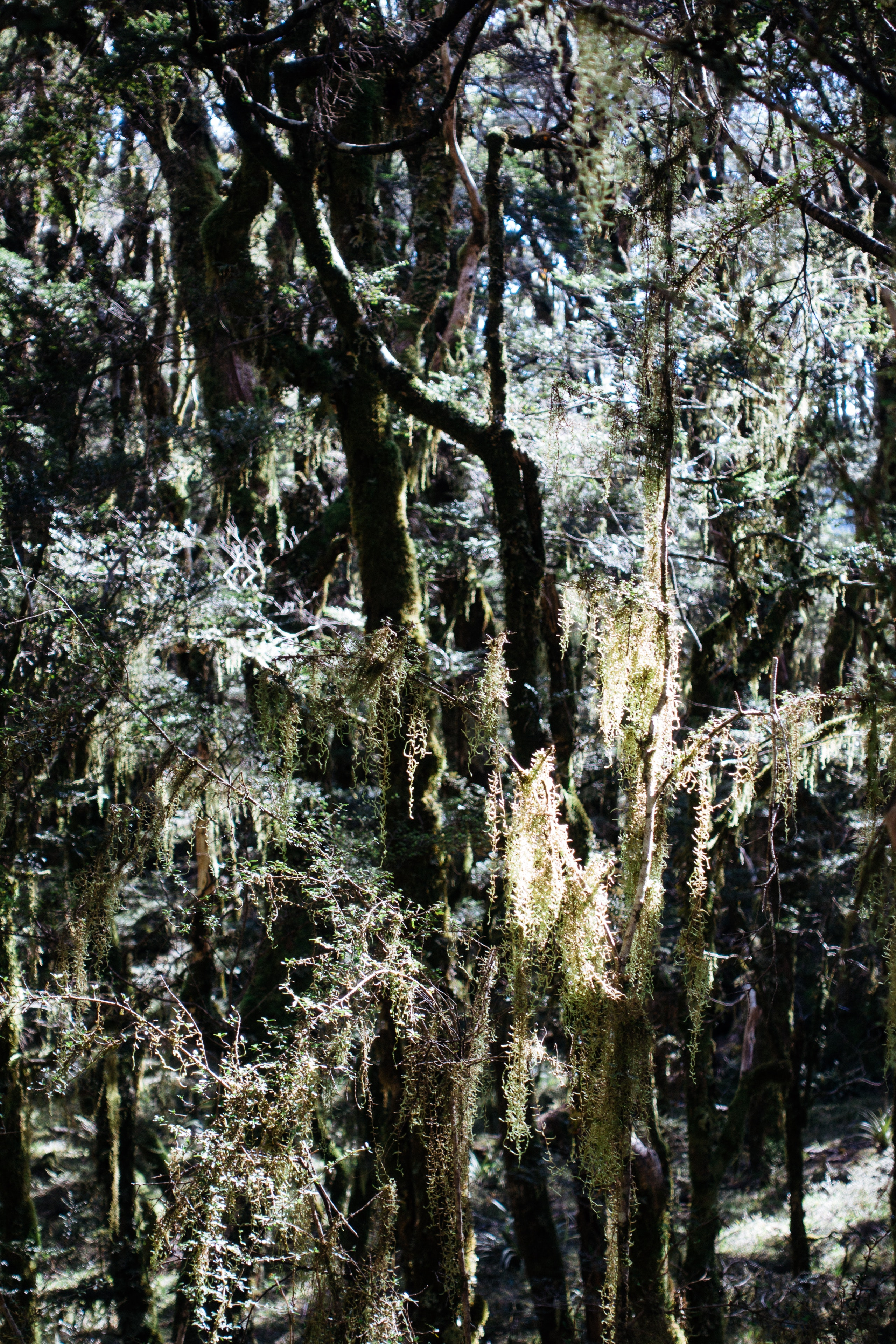 Inside the Enchanted Forest, moss hangs from trees