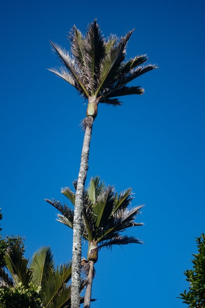 Two palms against a blue sky