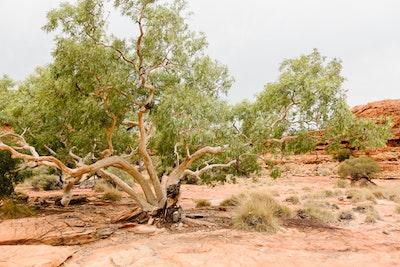 Trees at Kings Canyon