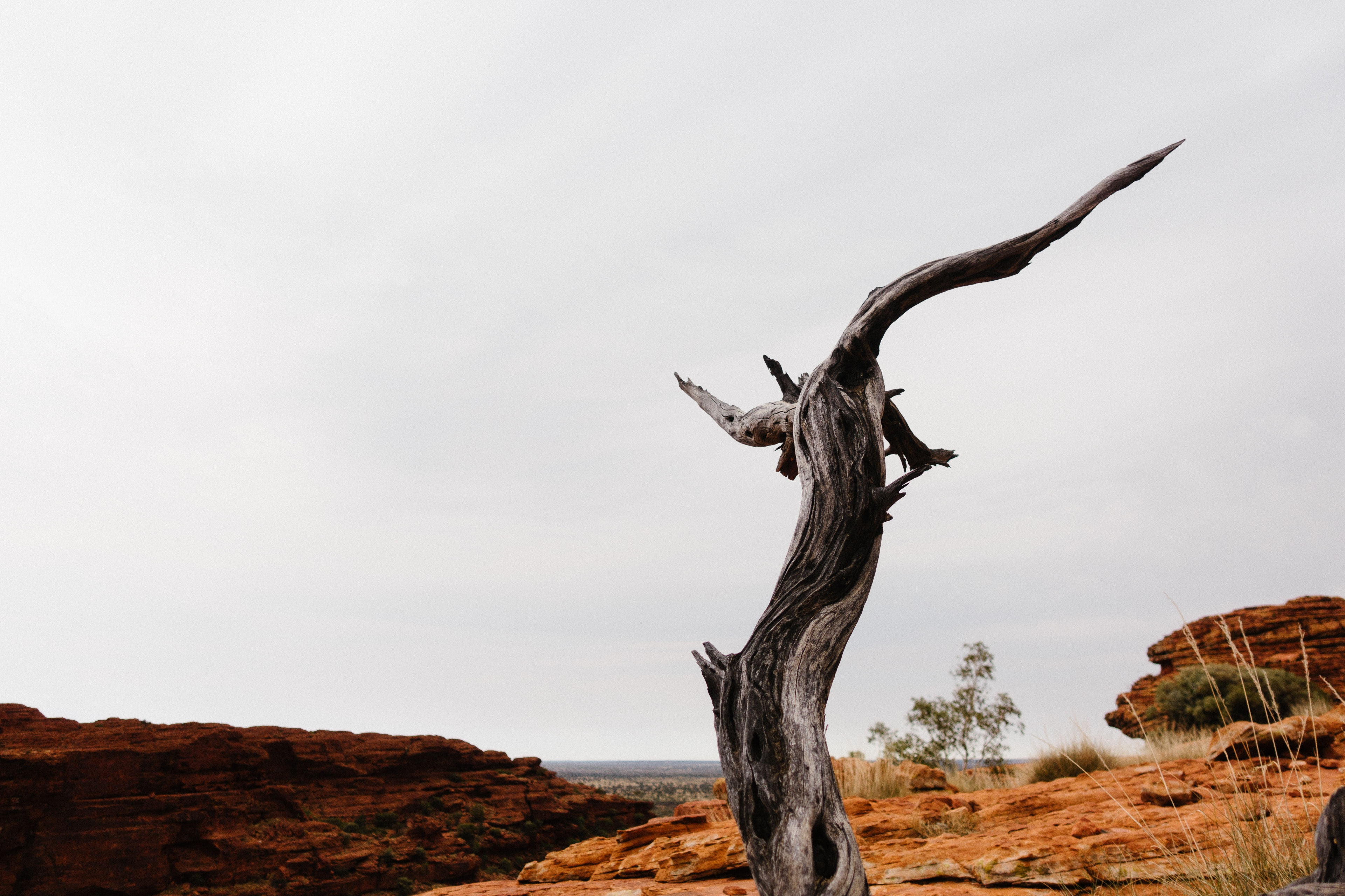 Dead tree at Kings Canyon