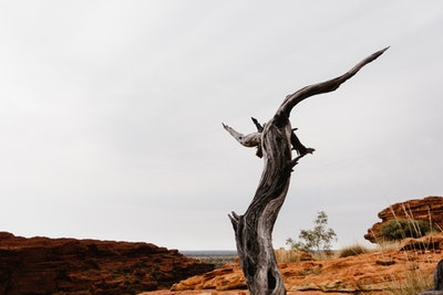 Dead tree at Kings Canyon