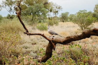 An Australian Pigeon