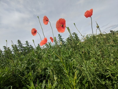 Poppies on the path