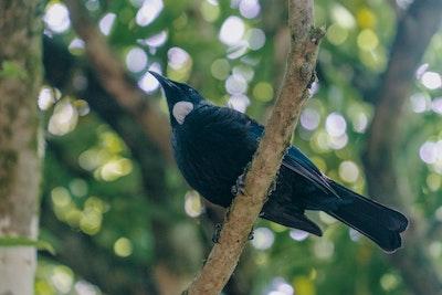 A Tui in a tree at Zealandia